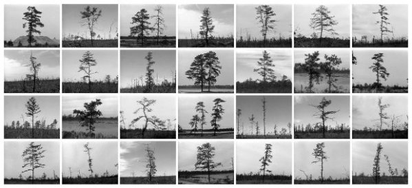 1097-1663-Holt-PineBarrens_trees-12in300ppi